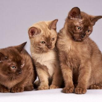 tablou canvas Brown kittens NWA 026 1
