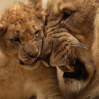 tablou canvas Lion King NWA 004 1