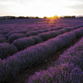 tablou canvas Sunset over lavender field NFL 014 1