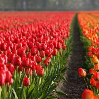 tablou canvas Tulips field NFL 018 1