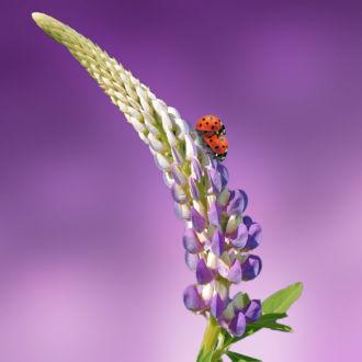 tablou canvas buburuze pe floare violet NFL 032 1