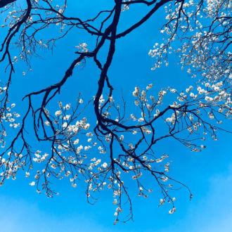 tablou canvas cer senin cu cires japonez inflorit NLF 025 1