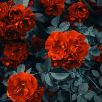 tablou canvas contrast cu trandafiri rosii NFL 020 1